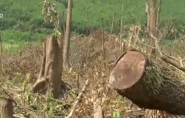 Ngang nhiên phá rừng nguyên sinh để lấy đất trồng keo