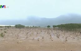 Chưa xác định nguyên nhân nhiều cánh rừng ngập mặn ở Hà Tĩnh bị chết
