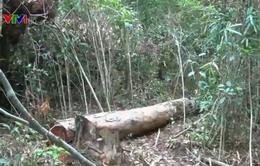 Kon Tum: Rừng giao khoán bị hủy hoại nghiêm trọng