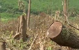 Rừng Tây Nguyên đang bị suy thoái nghiêm trọng