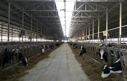 Nga khôi phục và phát triển trang trại chăn nuôi theo công nghệ mới