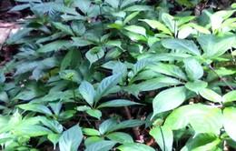 Quảng Nam hoàn trả hơn 100.000 cây sâm Ngọc Linh cho doanh nghiệp