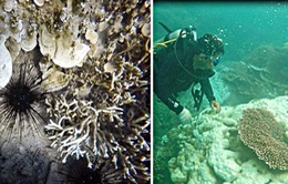800ha san hô ở Côn Đảo bị tẩy trắng