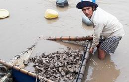 Nghêu, hàu chết hàng loạt ở Bạc Liệu là do sốc môi trường nước