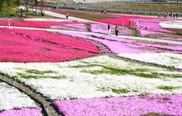 Tuyệt đẹp thảm hoa hồng rêu tại công viên Hitsujiyama, Nhật Bản