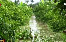 Triều cường gây ngập nhiều vườn cây ăn trái tại Sóc Trăng