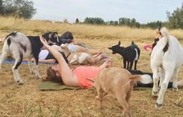 Mỹ: Sốt xình xịch lớp học yoga dê