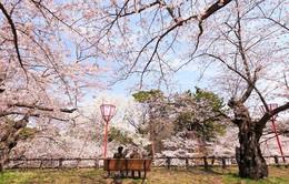 Ngơ ngẩn trước vẻ đẹp của mùa hoa anh đào Nhật Bản