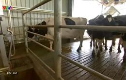 Áp dụng công nghệ vắt sữa bò tự động ở Australia