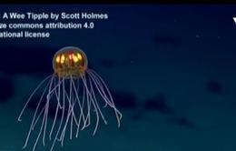 Sứa phát sáng ở độ sâu hơn 3.700m dưới đáy biển