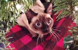 """""""Chết cười"""" với loạt ảnh những chú mèo hào hứng chờ đón Giáng sinh"""