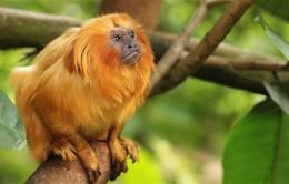 Brazil nỗ lực bảo tồn khỉ vàng sư tử Tamarin