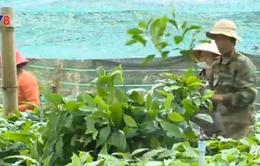 Lâm Đồng: Hơn 3,8 tỷ đồng hỗ trợ nông dân mua giống cà phê tái canh