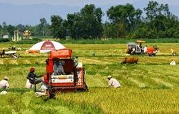 Quảng Trị: Khẩn trương thu hoạch lúa Hè Thu