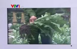 Bắt quả tang 2 gia đình trồng cây thuốc phiện tại nhà