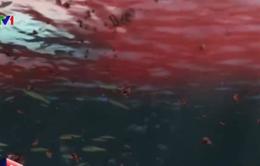 Chile: Hàng loạt sinh vật biển chết dạt vào bờ do thủy triều đỏ