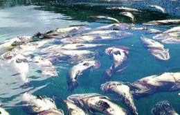 Cá lồng bè chết hàng loạt tại TT-Huế