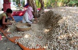 Nông dân Khánh Hòa thấp thỏm lo lắng vì tỏi mất mùa