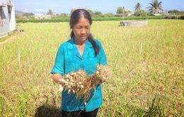 Khánh Hòa: Tỏi mất mùa, nông dân lỗ nặng