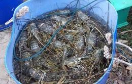 Tôm hùm chết hàng loạt ở Phú Yên do nắng nóng?