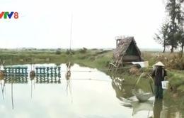 Quảng Nam: Hơn 80 ha tôm nuôi chết do dịch bệnh