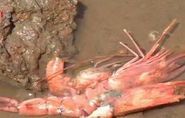 Quảng Ngãi: 15 triệu con tôm giống chết do dịch bệnh