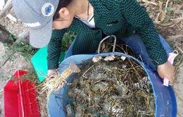 Tôm hùm chết hàng loạt, nông dân Phú Yên thiệt hại nặng