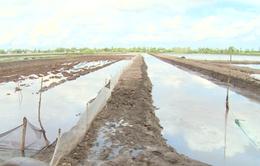 Kết quả thanh tra mâu thuẫn tôm - lúa ở Kiên Giang
