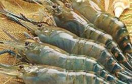 Việt Nam không phát hiện trường hợp bơm Pectin vào tôm xuất khẩu