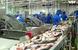 Người nuôi cá tra có lãi sau gần 1 năm thua lỗ