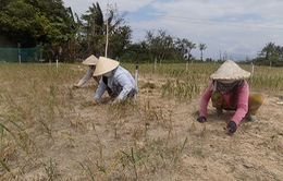 Hành Lý Sơn mất mùa, nông dân trắng tay