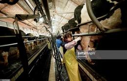 Trang trại nuôi bò khổng lồ ở Trung Quốc và bài toán chi phí môi trường