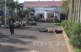 """Lâm Đồng: Bắn hạ trâu """"điên"""" húc 3 người bị thương"""