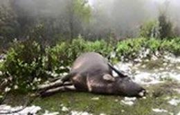 Trâu bò chết rét, thương lái được đà ép giá người dân