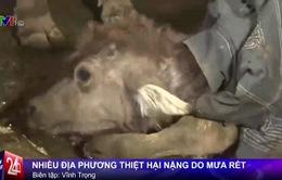 1.500 con trâu, bò tại các tỉnh phía Bắc chết vì giá rét