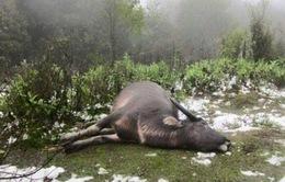Gần 9.000 trâu, bò bị chết do rét đậm, rét hại