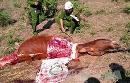 Tái diễn tình trạng trộm bò ở Phú Yên