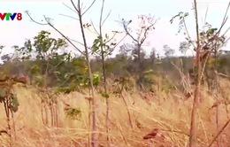 Nghịch lý trong giao đất trồng rừng ở Gia Lai