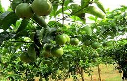 Quy hoạch 10.000ha trồng chanh leo