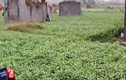 Hà Nội kiểm tra việc trồng rau xanh trong nghĩa địa