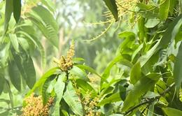 Gần 1.000 ha xoài Tết ở Hậu Giang bị thiệt hại vì mưa dầm