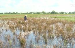 Những câu chuyện buồn từ con tôm, cây lúa ở Kiên Giang