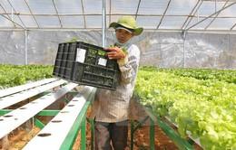 Diện tích trồng rau thủy canh tại Lâm Đồng tăng