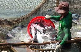 Khó tìm đầu ra khi nông dân thả nuôi cá tra ồ ạt
