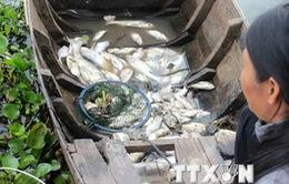 Cá chết, người nuôi thiếu vốn tái sản xuất trầm trọng