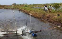 Cà Mau: Người dân lén lút phá rừng để nuôi tôm