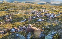 Hơn 300 con tuần lộc bị sét đánh chết tại Na Uy