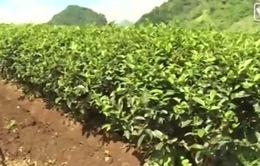 Nông nghiệp Israel phát triển nhờ công nghệ tưới nhỏ giọt