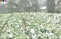 Băng tuyết phủ trắng các cánh đồng rau tại Lào Cai