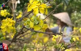 Người trồng mai Tết ở Nam Trung Bộ thiệt hại nặng vì nắng nóng
